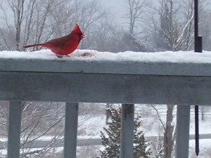 Awesome Red Cardinal Close Up
