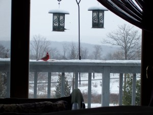 Red Cardinal Coming for a Bite
